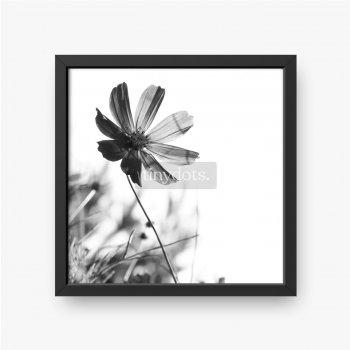 Kosmosblume auf einem weißen Hintergrund.