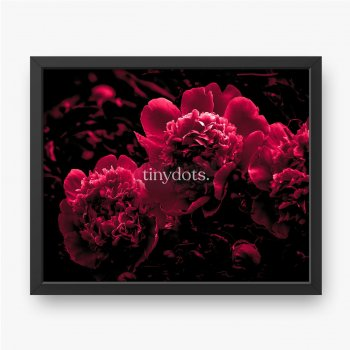 Nahaufnahme der rosa Pfingstrosenblumen.