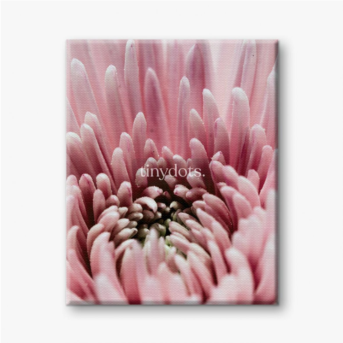Leinwandbild Chrysantheme mit rosa Blütenblättern