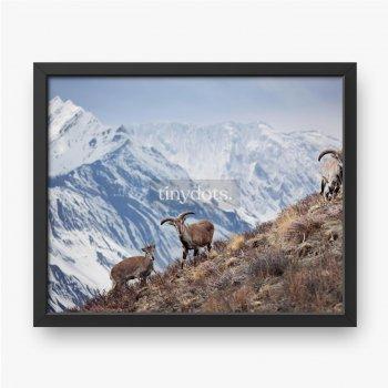 Wilde blaue Schafe stehen auf einem Hügel neben dem Himalaya.