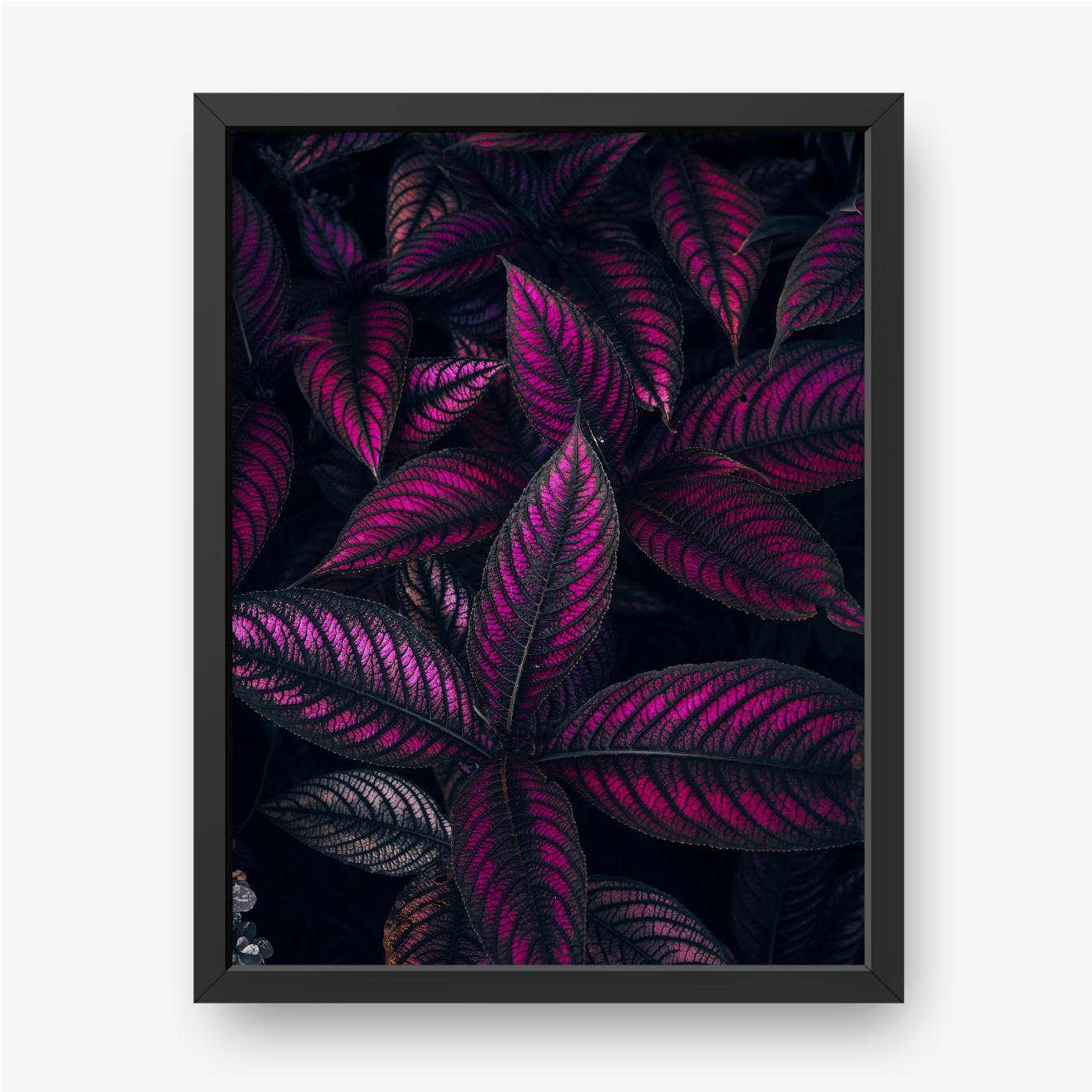 Strobilanthes dyerianus, Pflanze mit lila und schwarzen Blättern